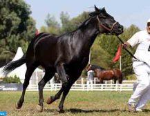 Meknès : Plus de 130 éleveurs au concours interrégional d'élevage des chevaux Arabe-Barbe